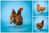 Friend asked me to take some pictures of their chickens
