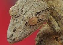 Frilled leaf-tail gecko Uroplatus fimbriatus x-post from rpics