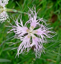 Fringed pink Dianthus superbus photo by Stan Shebs