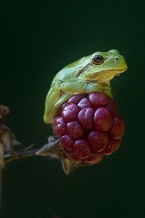 Frog sitting on a berry
