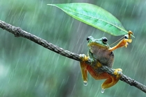 Frog Using A Leaf Umbrella in Indonesia by Nur Santo
