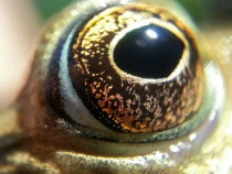 Frogs Eye Detail