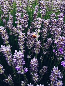 From the Lavender Festival held annually in my hometown Photo taken by me  MP x