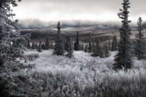 Frost on Brush and Spruce Trees of the Alaska Range in Denali National Park