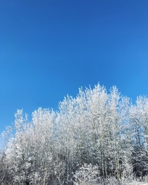 Frost trees - Alberta Canada