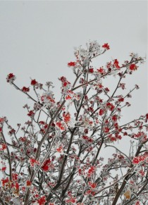Frosted Mountain Ash