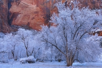 Frosted trees against the red rock walls at Zion National Park Utah