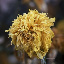 Frosty Marigold - anyone interested in more frosty fall macro