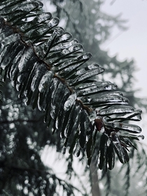 Frozen Fir Needles Newberg Oregon