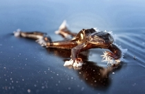 Frozen Frog on lakes of Oslo Norway