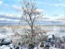 Frozen Tree on the Shore of Lake Erie