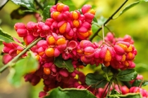 Fruit amp seeds of European spindle Euonymus europaeus