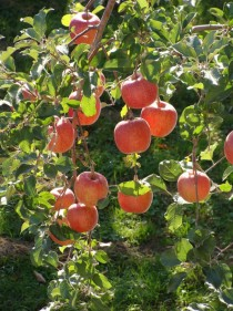 Fuji apples on the tree