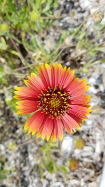 Gaillardia blanket flower at the Frost Museum of Science
