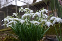 Galanthus snowdrop growing in our garden winter