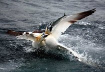 Gannets fighting over a Mackerel off the coast of Kerry Ireland OC