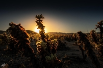 Garden of Cholla Cacti in Joshua Tree National Park