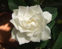 Gardenia jasminoides photo by Erin Silversmith