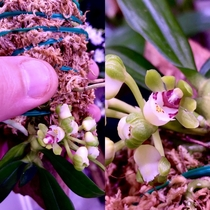 Gastrochilus japonicus smells like old orange peels