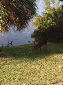Gator stalking a buck at Fripp Island Sc