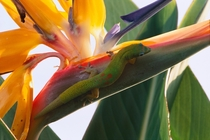 Gecko hanging out on a Bird Of Paradise flower the big island Hawaii  OC