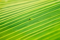 Gecko sticking out of a palm frond