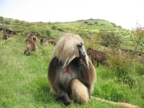 Gelada    Simien Mountains National Park Ethiopia    Photographed by Morgan Gustison