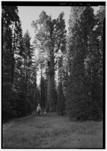 General Sherman a giant sequoia Sequoiadendron giganteum the largest known tree by volume in the world Sequoia National Park Tulare County CA Photo by Brian C Grogan Library of Congress