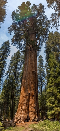 General Sherman Tree in Sequoia National Park By volume it is the largest known living single stem tree on earth