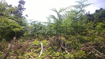Giant Fern Forest  in Malltraeth North Wales