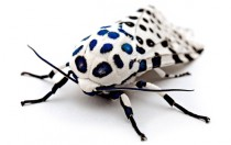 Giant Leopard Moth x -post from rpics