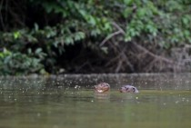 Giant Otters planning their next move Pteronura brasiliensis -