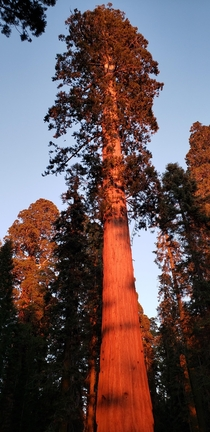 Giant Sequoia during tonights magic hour Sequoia National Park OC x