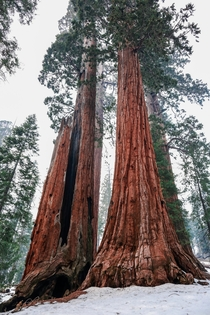 Giant Sequoia Kings Canyon National Park The tree on the left was struck my lightning and survived