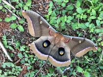Giant Silk Moth Texas
