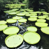 Giant Victoria water lily Gainesville Florida US  x