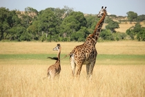 Giraffe and her calf Kenya Photo credit to Lisa H