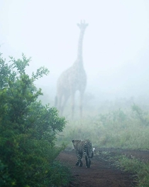 Giraffe and leopard on a misty morning in the African savanna South Africa photo by Dylan Royal