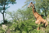 Giraffe at Kruger National Park South Africa Photo credit to Annakate Auten
