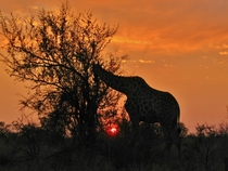 Giraffe at sunset in South Africa