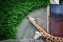 Giraffe Ate Everything He Could Reach