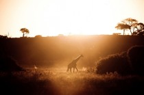 Giraffe giraffa camelopardalis at sunset in Chobe National Reserve in Botswana