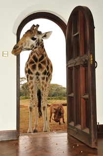 Giraffe Giraffa camelopardalis peeking its head in a house in Nairobi Kenya  Photo by Alexey Tishchenko