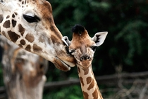 Giraffe mother Jujis looks after her giraffe baby Thabo in their enclosure at the zoo of Hanover Germany on August   The Rothschild giraffe is among the most endangered giraffe subspecies with only a few hundred members in the wild Holger HollemannAFPGett