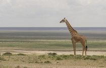 Giraffe on the Serengeti