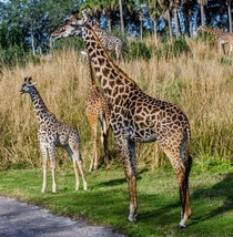 Giraffes in Disneys Animal Kingdom incl baby
