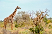 Giraffes in Tsavo East National Park Kenya Kenya Photo credit to Damian Patkowski
