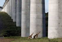 Giraffes under a railway bridge in Nairobi National Park Kenya