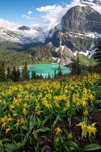 Glacier Lilly above Grinnell Lake in Glacier National Park Montana