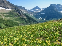 Glacier lily bloom on the Highline Trail Looking toward Logan Pass Glacier NP Montana    OP